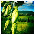 The annual hop harvest is a perception changing sensory experience