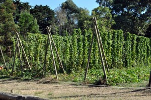 Trestles of hops at Red Hill Brewery