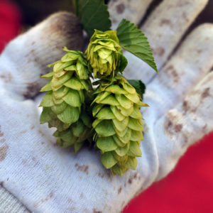 Hop harvesting Red Hill style
