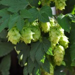 A bunch of Tettnang hops amongst the bines at Red Hill Brewery
