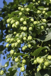 Moreish: Hops