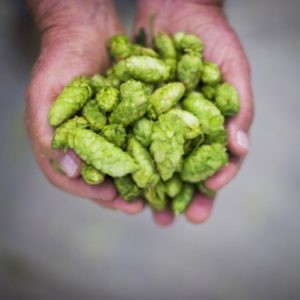 Hop extracts becoming necessity: Hopco