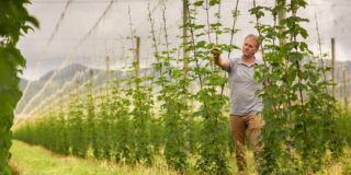 New Zealand hops on the bine