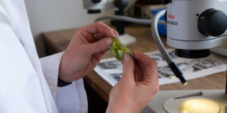 Hops being analysed in a lab
